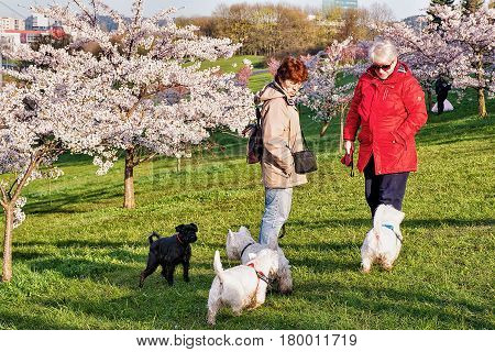 Women Walking Dogs At Sakura Or Cherry Tree Flowers Garden