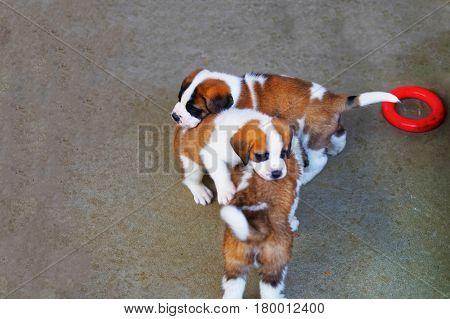 Saint Bernard Puppies Playing In Breeding Kennel Martigny