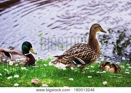 Ducks In Minnewaterpark And Minnewater Lake In Brugge