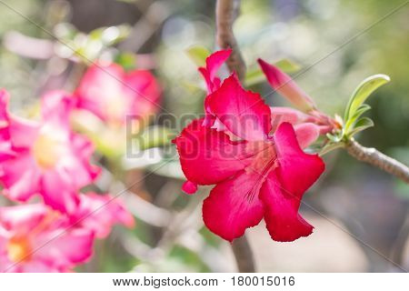 Abstract Azalea flower with sun light. Colorful of Red FlowersAzalea flowers. natural flowers Azalea flowers