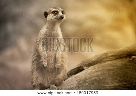 Suricate or meerkat (Suricata suricatta) standing on guard.