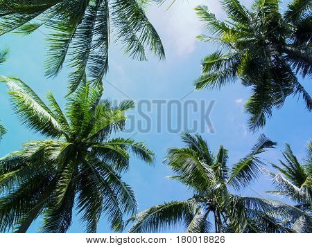 Palm tree crowns with green leaves on sunny sky background. Coco palm tree tops - view from the ground. Palm leaf on sunny sky. Aqua blue toned photo. Summer travel banner. Exotic island nature image