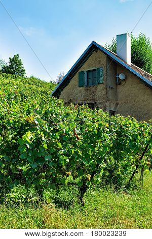 Chalet And Lavaux Vineyard Terraces Hiking Trail In Swiss