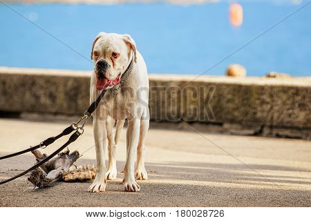 German mastiff on the leash at Geneva Lake in Vevey Vaud canton Switzerland