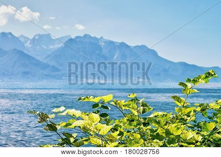 Green Leaves Blooming At Promenade Of Geneva Lake In Montreux