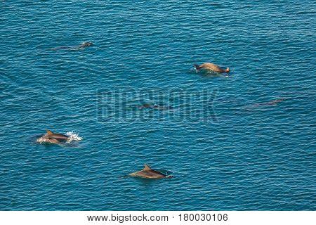Flock of Black Sea bottlenose dolphins frolics near the coast of Crimea