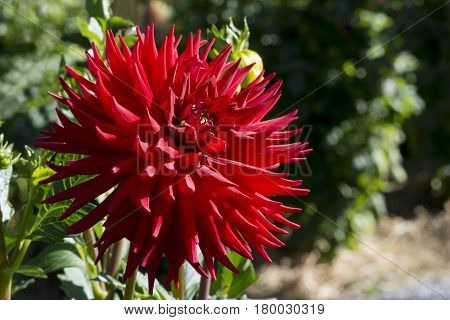 Full Flolwer Head Of A Red Scarborough 2000 Dahlia