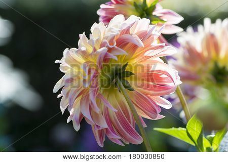 Rear View: Chrisite Rosella Dahlias