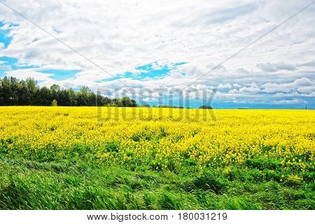 Field of rapeseed in Lower Silesia Poland