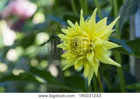 Bright Yellow Formby Gold Dust Dahlias