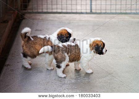 Little Saint Bernard Puppies Playing In Breeding Kennel In Martigny