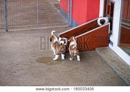 Little Saint Bernard Puppies Playing In Breeding Kennel At Martigny