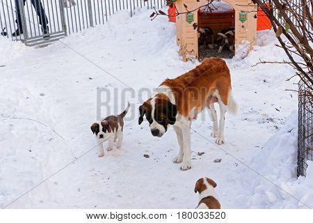 Saint Bernard adult dog with puppies at breeding kennel Martigny Switzerland. Winter