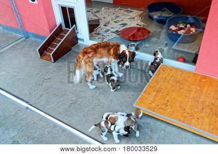Saint Bernard Adult Dog With Puppies In Breeding Kennel Martigny
