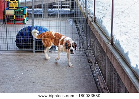 Saint Bernard Dog In Breeding Kennel At Martigny