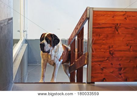 Saint Bernard Dog In Breeding Kennel In Martigny