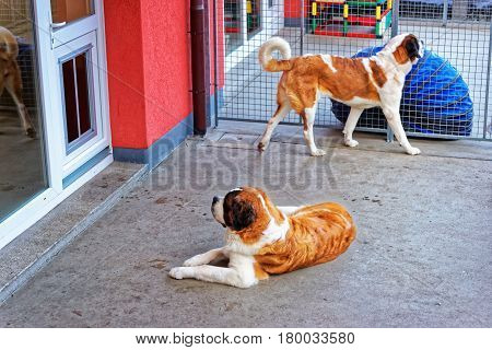 Saint Bernard Dogs In Breeding Kennel In Martigny