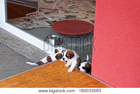 Saint Bernard Little Puppies Playing At Breeding Kennel Martigny