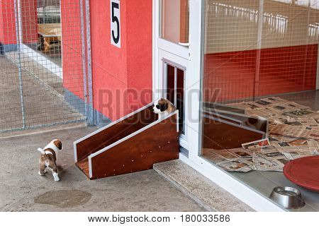 Saint Bernard Little Puppies Playing At Breeding Kennel In Martigny
