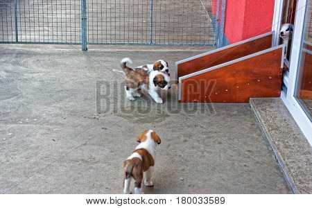 Saint Bernard Little Puppies Playing In Breeding Kennel Martigny