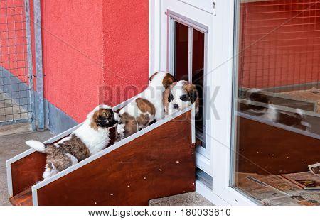 Saint Bernard Puppies Playing At Breeding Kennel Martigny