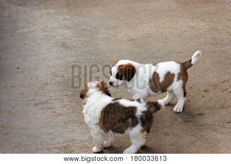 Saint Bernard Puppies Playing In Breeding Kennel At Martigny