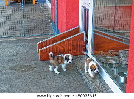 Saint Bernard Puppies Playing In Breeding Kennel In Martigny