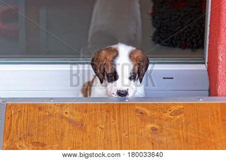 Saint Bernard Puppy In Breeding Kennel Martigny