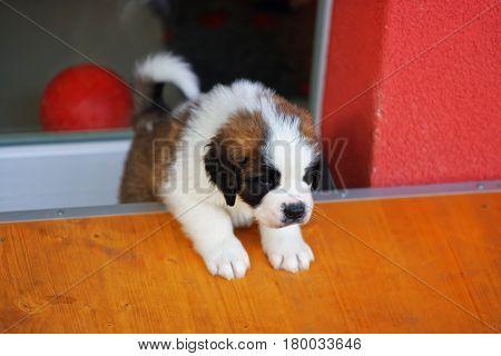 Saint Bernard Puppy In Breeding Kennel In Martigny