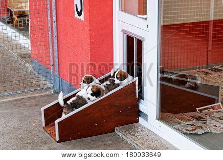 Saint Bernard Small Puppies Playing At Breeding Kennel Martigny