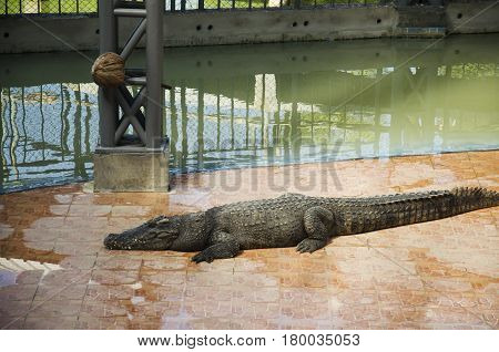 Crocodiles Sleeping And Resting In The Park Of Bueng Boraphet Is The Largest Freshwater Swamp