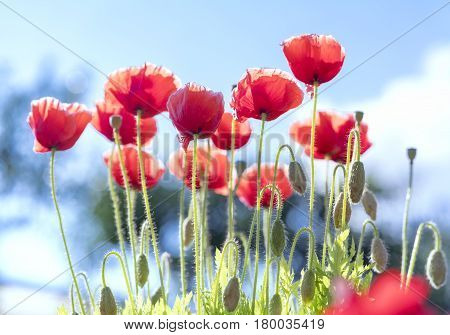 Wild Coquelicot flowers bloom in the sunny sky shimmering as the glorious beauty of the fleeting wings