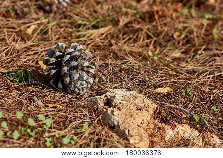 Pinecone On The Ground