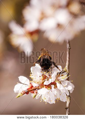 Close up of bumblebee in cherry blossoms.