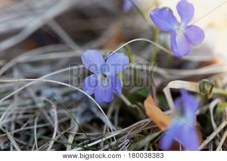 Flowers of a wood violet (Viola odorata)