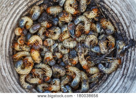 many the May beetle larvae collected in a bucket. larva background