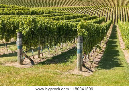 rows of grapevine growing in vineyard on rolling hills
