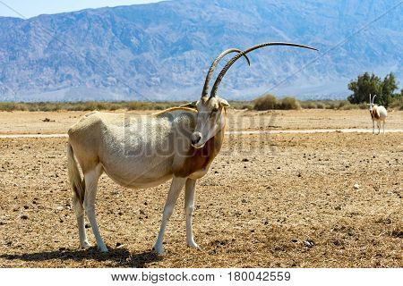 Adult Sahara scimitar Oryx (Oryx leucoryx). The species was introduced and adopted in nature reserve near Eilat, Israel