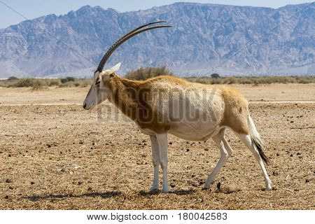 Adult Sahara scimitar Oryx (Oryx leucoryx). Due to danger of extinction, the species was introduced and adopted in nature reserve near Eilat, Israel