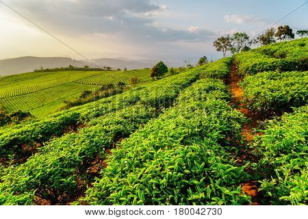 Scenic Rows Of Young Bright Green Tea Bushes In Evening