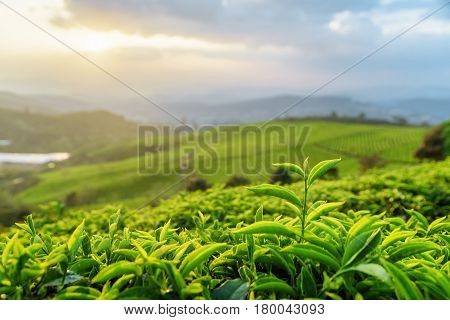 Closeup View Of Tea Leaves At Tea Plantation At Sunset