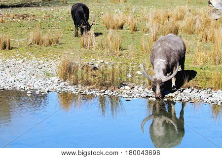 Water Buffalo at Orana Wildlife Park, Christchurch, New Zealand.