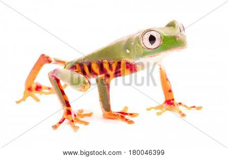 Tiger leg monkey tree frog, Phyllomadusa tomopterna. Tropical treefrog from Amazon rain forest and an endangered animal. Isolated on white background.