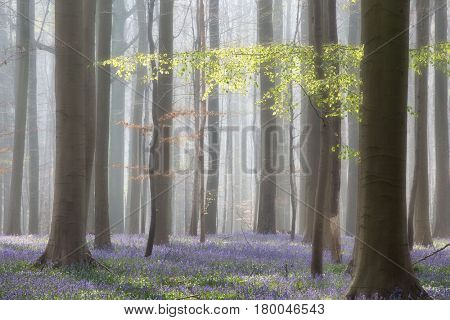 First green leafs in misty spring beech forest. Tree trunks and violet blue bluebell flower carpet.