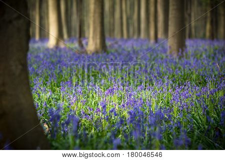 bluebell spring wild flowers as a violet blue carpet on the beech forest floor. Narrow depth of field.