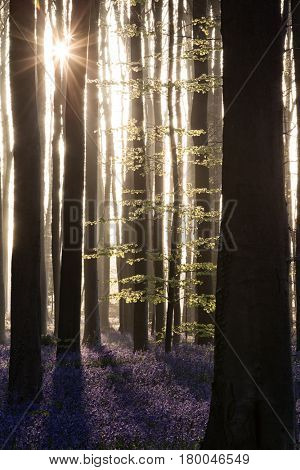 Hallerbos, enchanted forest sunrise. Blue spring wildflowers in bright sunlight. Bluebell woods. Idyllic sunrise between the beech trees. poster