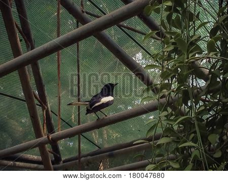 Black and white birds fly to the iron island in the nursery garden. Copsychus saularis Oriental magpie robin