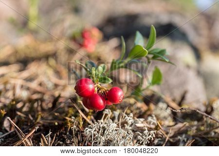 Bush of ripe cowberry in the forest