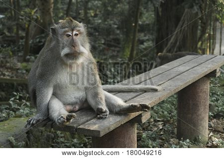Balinese Long-Tailed Monkey. The Ubud Monkey Forest is a nature reserve and Hindu temple complex in Ubud, Bali, Indonesia. These monkeys are also called crab-eating macaques or long tailed macaques.
