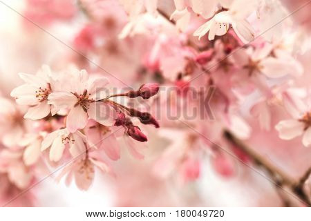 Beautifully pink young spring cherry blossom with flowers and buds. Impression style soft pastel pink. Extremely shallow depth of field for dreamy feel.